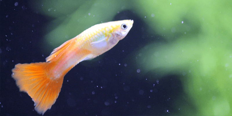 adult-male-guppy