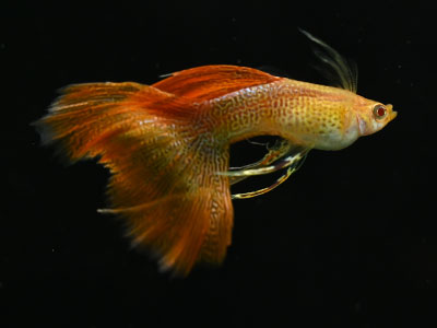 Asian Cobra Guppy with Orange Tail and Dorsal Fin