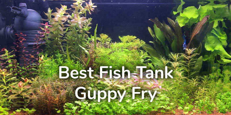 best-fish-tank-guppy-fry