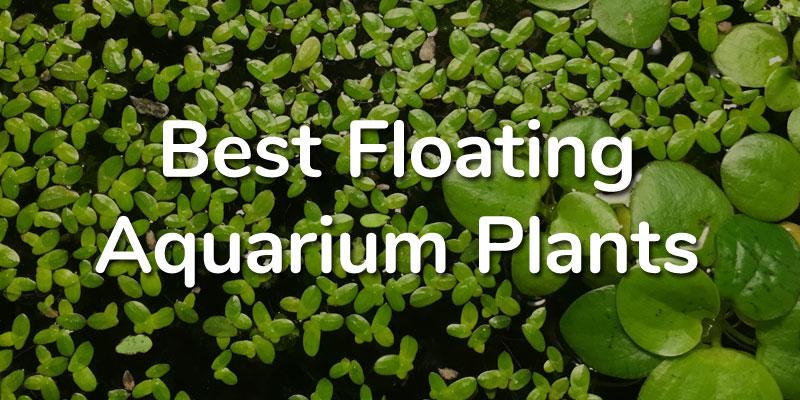 5 Best Floating Aquarium Plants for Guppy Fish