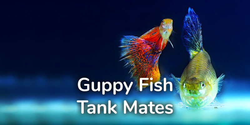 best-guppy-fish-tank-mates