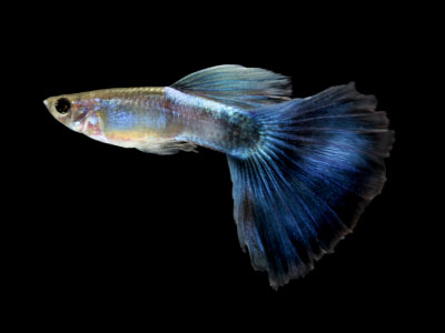 bi-colored-guppy