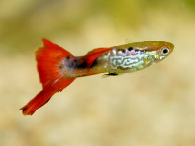 bottom-sword-tail-guppy