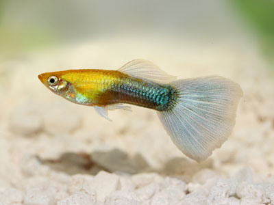 common-guppy-fish