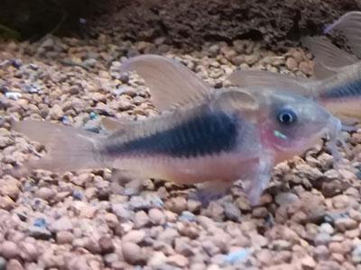 cory-catfish