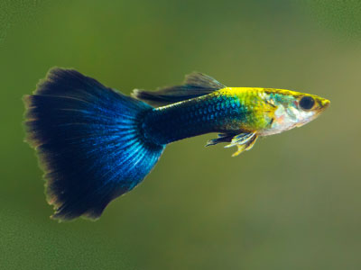 delta-tail-guppy