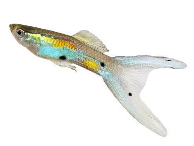 double-swordtail-guppy