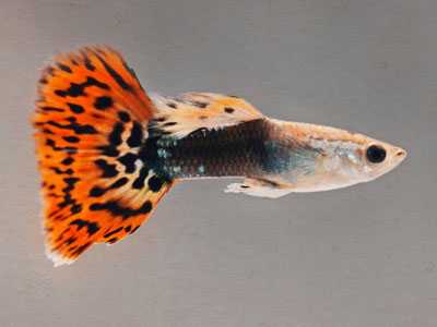 dragon-head-guppy