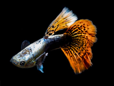 Dumbo Ear Guppy with Orange Tail and Dorsal Fin