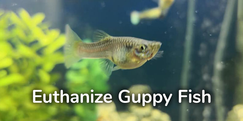 euthanize-guppy-fish