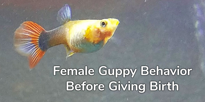 female-guppy-behavior-before-giving-birth