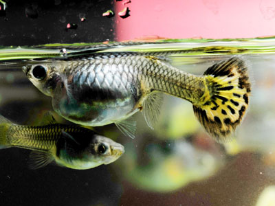 female-guppy-fish