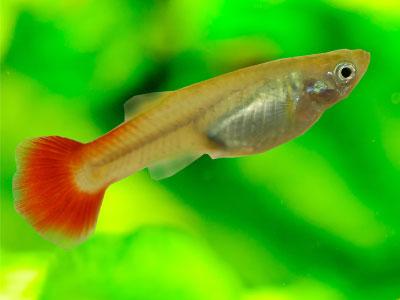 Female Orange Guppy Fish