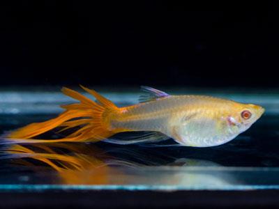 Orange Female Guppy with Glass Tail