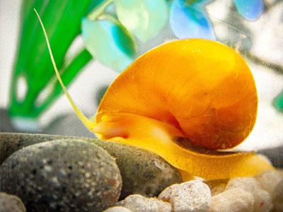 Golden Mystery Snails