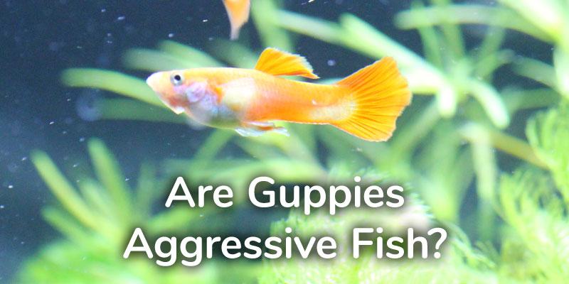 guppies-aggressive-fish