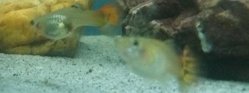 guppies-staying-at-bottom-aquarium