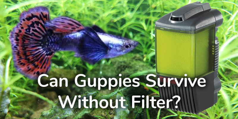 guppies-survive-without-filter