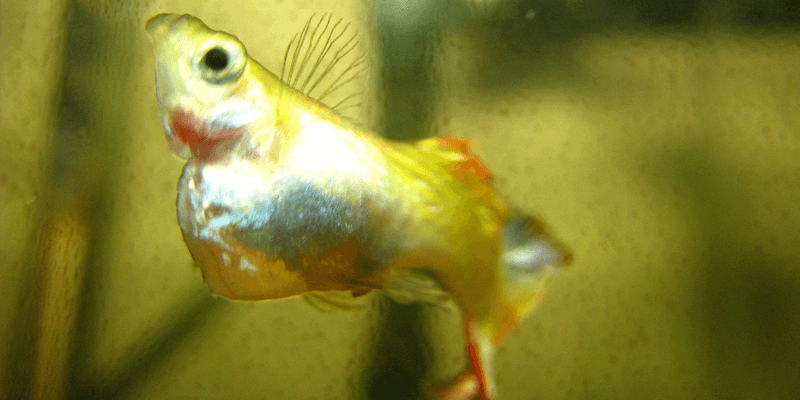 guppy-diseases-parasites-remedies