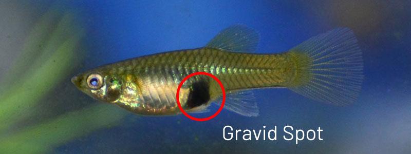 guppy-female-gravid-spot