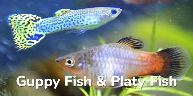 guppy-fish-and-platy-fish