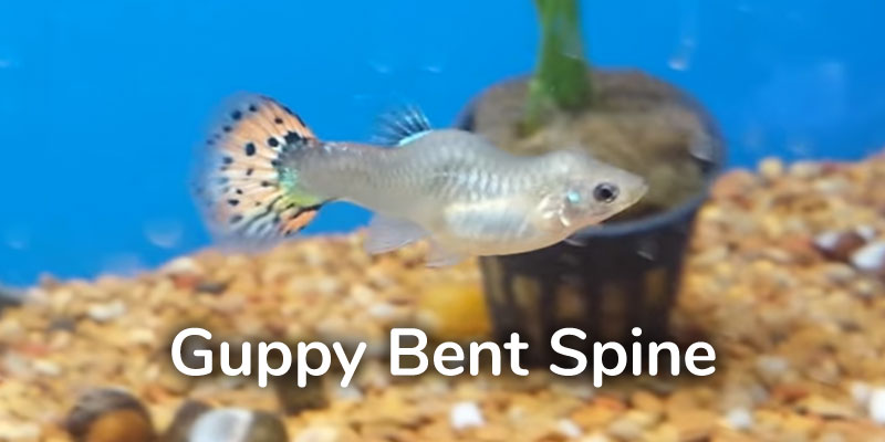 guppy-fish-bent-spine