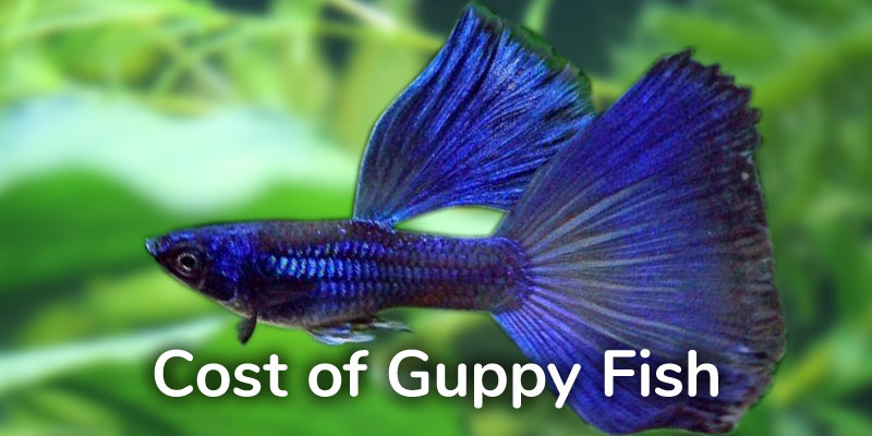 guppy-fish-cost
