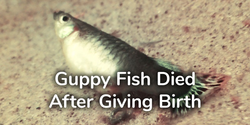 guppy-fish-died-after-giving-birth