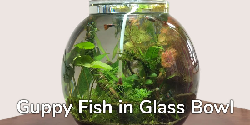 guppy-fish-glass-bowl