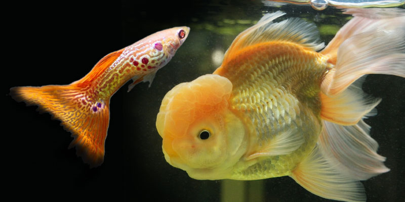 guppy-fish-goldfish