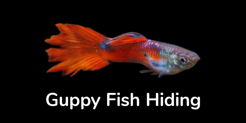 guppy-fish-hiding