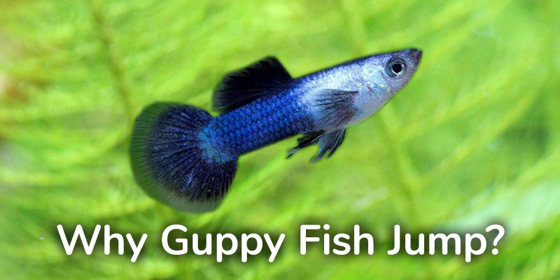 guppy-fish-jump