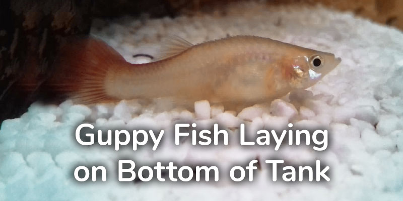 guppy-fish-laying-bottom-tank