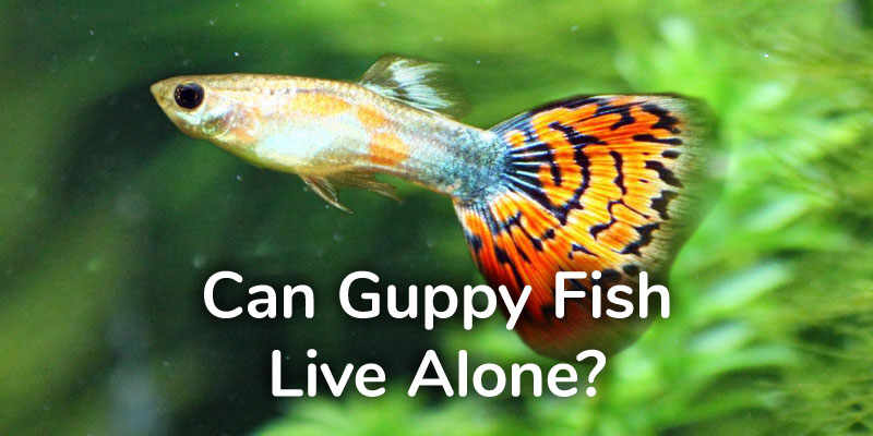 Lifespan of Guppies - How Long Does a Guppy Fish Live For?