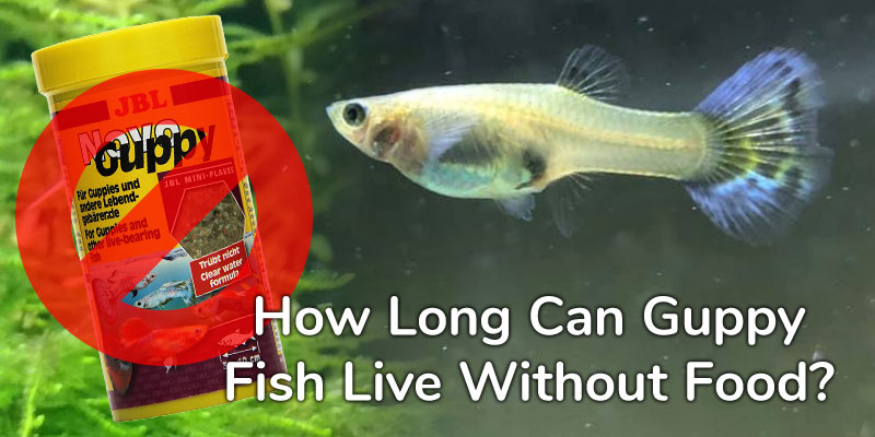 guppy-fish-live-without-food