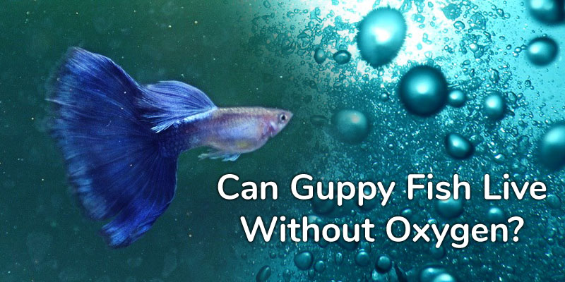 guppy-fish-live-without-oxygen