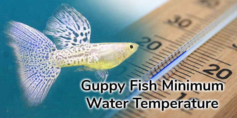 guppy-fish-minimum-water-temperature