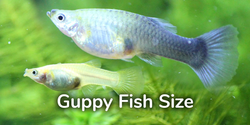 guppy-fish-size