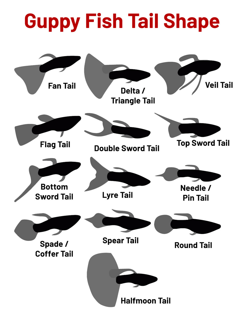 guppy-fish-tail-shape