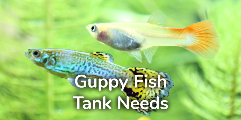 guppy-fish-tank-needs