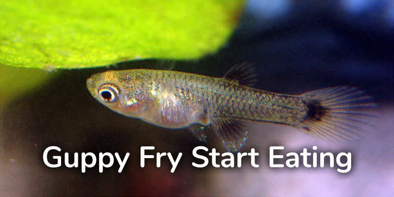 guppy-fry-start-eating