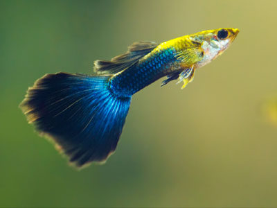 half-black-blue-guppy
