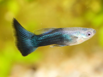 half-black-green-guppy
