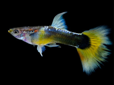 half-black-yellow-guppy