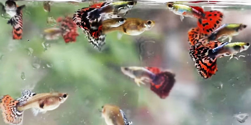 how-many-guppies-10-gallon-fish-tank