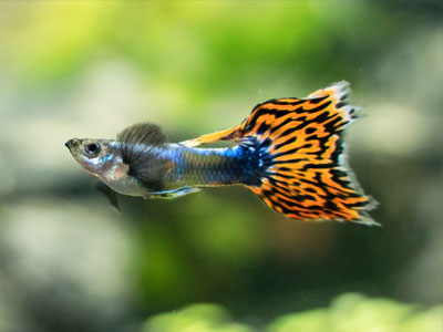 lyre-tail-guppy