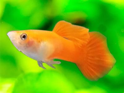 Male Orange Guppy Fish