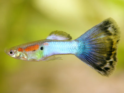 multi-colored-guppy