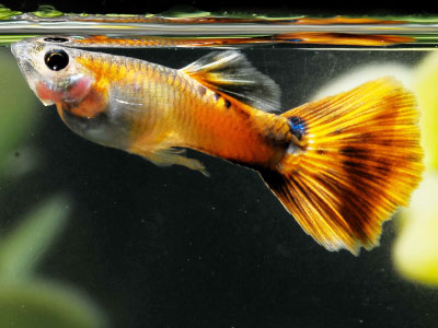 Multicolored Male Guppy with Orange Color Patterns