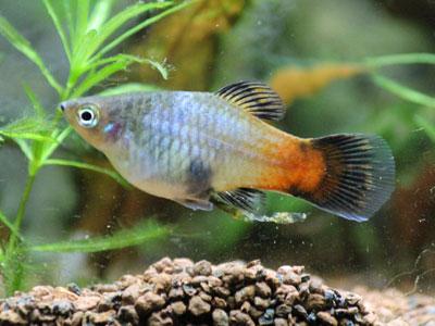 platy-fish